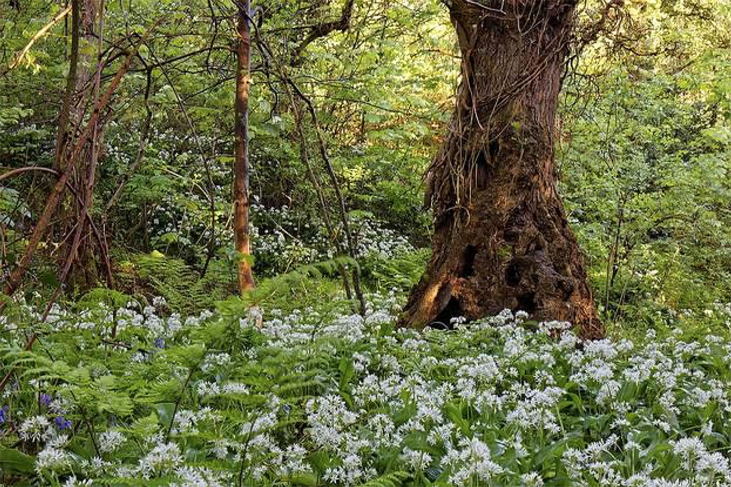 Ancient ash and a carpet of wild garlic