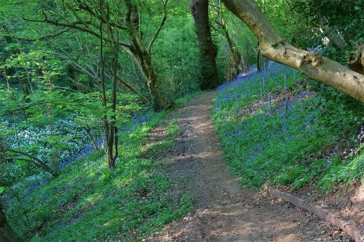 Bluebells in Hob Hey Wood