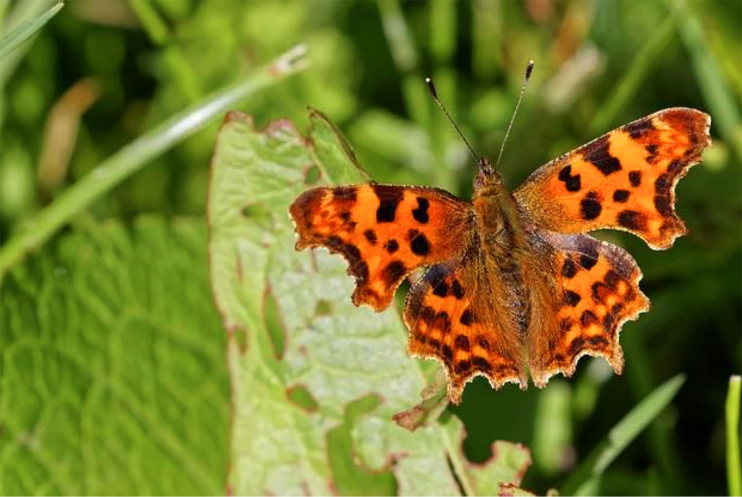 Comma butterfly in the meadow